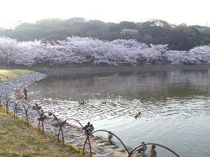 明石あたりの・・・(笑)Part.2 どうも皆様。こんにちは。(^^) 今朝も明石公園へ散歩です。 まだ早朝は少しヒンヤリしてます。 桜は