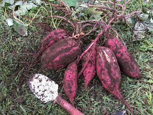 埼玉県北で登山仲間探してます(^^v 今週は畑のサツマイモを試し掘りしてみました! 今年は天気が悪くて心配だったけど、出来はなかなか良いみ