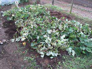 埼玉県北で登山仲間探してます(^^v サツマイモ、16株のうち、6株掘ったところです! 今年のサツマイモはとっても元気です。(^^v