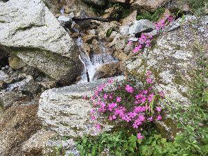 埼玉県北で登山仲間探してます(^^v タカネビランジが綺麗に咲いていました♪