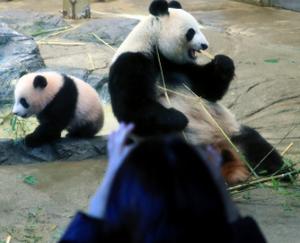 来週のレンジ予想 【シャンシャン一般公開】 東京・上野動物園で6月に生まれたジャイアントパンダの雌の赤ちゃん、シャンシ