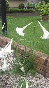 今、お庭に咲いてる花はなんでしょう? 一ヶ月の画像アップです。暑さも和らいできたようです。 良く繁殖するユリが庭で満開です。