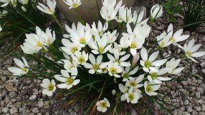 今、お庭に咲いてる花はなんでしょう? この時期きまって咲いてくれます。群生するととても綺麗です。