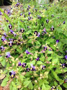 今、お庭に咲いてる花はなんでしょう? 家内はキンギョソウと言ってますが 本当か〜?  ずいぶん増えたので、花が終わって 片付けが大変なので