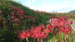 今、お庭に咲いてる花はなんでしょう? 彼岸花の群生するいいところが近所にあります。まだ、8分咲きのようですが綺麗です。  てnさん書きこみ