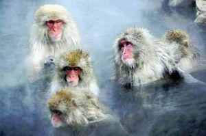 不死の甘露のひとしずく [サルも、冬は温泉に。]  野生サル、入浴で ストレス解消。(京大が、論文に纏める。) 動物も、スト