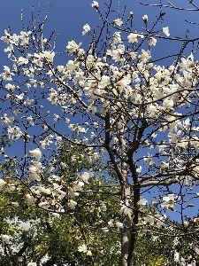 (=o'ェ'o)」こんにちは♪ おはようございます。  寒の戻りで寒い数日が過ぎて、 私の近くの公園では、 しろモクレンが咲き始めま