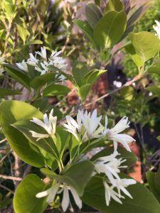 まい ふぇぼれっと すいんぐ 6年ぶりになんじゃもんじゃの花が咲きました。 剪定の時期、枝を間違えてたみたいです。対馬の湾のなんじ