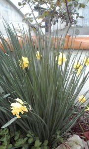 まい ふぇぼれっと すいんぐ ラッパ水仙  白い水仙もそうですがこの水仙も植え替えしないといけないのかも。 年々花数が減ってます。
