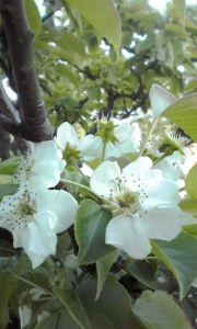 まい ふぇぼれっと すいんぐ 梨の花 毎年咲くようになり 実もなるように 楽しみな花です kanさん ライラックの蕾が今年はすごい