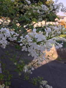 まい ふぇぼれっと すいんぐ ライラック リラ 3月中に満開です 北海道では確か5月にライラックまつり 九州とは2か月の時差 木が