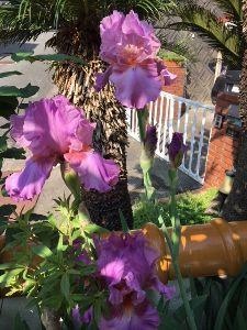 まい ふぇぼれっと すいんぐ ジャーマンアイリス 可愛い可愛いの花でなくて大人って感じの花 好きです。