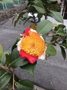 まい ふぇぼれっと すいんぐ 肥後つばき 肥後六花のうちの一つです。 以前は県外不出だったのですが 正真正銘の本物です 花芯が大き