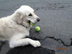 ゴールデン・レトリバー大好きな人~♪ 今日はボール遊び、よくばりで2個のボールを追いかけます。そして離そうとしません。