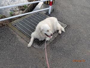 ゴールデン・レトリバー大好きな人~♪ 夏の定位置 朝の散歩の後は決まって用水路の分岐枡の鉄格子の上でクールダウンです。 鉄が冷えているのと
