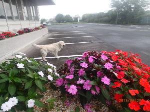 ゴールデン・レトリバー大好きな人~♪ 梅雨の中休み、駐車場ランです。