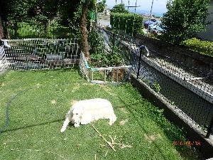 ゴールデン・レトリバー大好きな人~♪ 我が家の愛犬、この日差しが強い中で日光浴をしています。