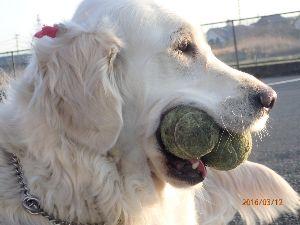 ゴールデン・レトリバー大好きな人~♪ ボール遊び大好き、テニスボールを2個追いかけます。 ときどき2個とも口にくわえて走っています。 いつ