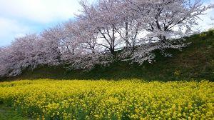 ぶらり旅 きまま旅♪ 「春」という言葉から思い浮かぶのは大半の人が桜だと思います。  桜は日本の文化といっても過言ではあり