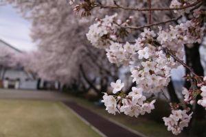 ぶらり旅 きまま旅♪ 群馬も桜が咲きました。 写真はいつもランニングをしている「ふれあい公園」ですが、ソメイヨシノが公園全