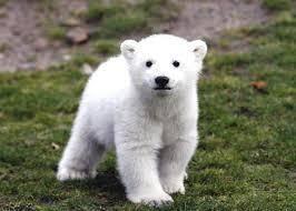 998407 - 日経平均株価 白熊の子供