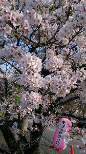 絆・・・ 桜のシーズンだね。 りなちゃんとこは、もうすぐ満開かな? こちらは、来月10日かな。