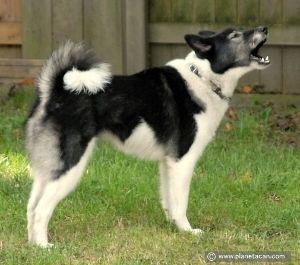998407 - 日経平均株価 ラッソヨーロピアンライカ カレリアンベアドックから分かれた兄弟犬種 下あごの牙凄いですな、上あごはも