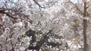 40後半! 楽しく会話しましょ 本日の大岡川の桜です 何百本は蕾さえできてないのに気の早く日当たりの良い場所にある1本だけは満開です