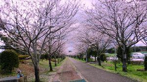 中高年の井戸端会議 4月の初めごろに、鹿児島、宮崎で桜が咲かない異常事態と言うテレビ放送をやっていました。 原因は冬が暖