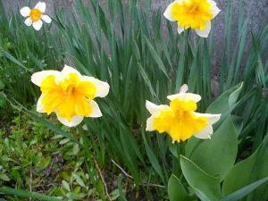 ヘボ俳句で仲間に~・ 水仙は 主にそっくり 遅咲きや