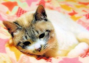 ネコのいる暮らし♪ 名前は「マロ」といいます・・ ゆびおり数えると・・ なんとびっくり、6歳にもなるんだ・・  雑種だけ