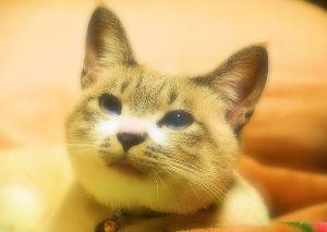 ネコのいる暮らし♪ 愛ネコ「マロ」は なぜわがままかというと・・ みんなが口をそろえて 教えてくれるには・・ 「目に青色