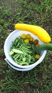 貸農園で菜園してる方!友達になって! インゲン豆~✌