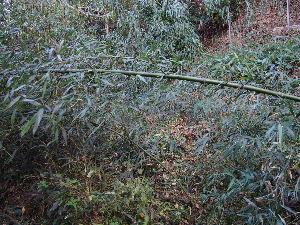 嘘でかためられた俺の人生 今、田舎に来てます。  庭の隅っこに竹がいっぱい生えてるんですよ。 この前の台風の風で倒れたんかなぁ