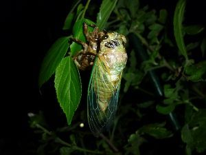どこか行きたい・・・・ 今の季節セミの羽化を捜しに夜庭に出てみますが、なかなか見つけられません。  懐中電灯で照らして探して