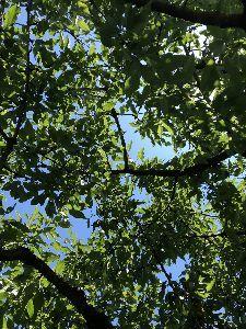 シェーグレン症候群なんですが 2 さくらんぼの木の下でお昼寝。 暑い💦 空気が美味い。 風が口の中に入ってくる。