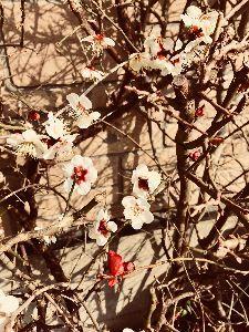 ほのぼの 百合さん ヤスさん みなさま こんばんは(^-^)  春は確かに近づいて来ていますね♩  梅の花を見