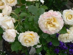 のんびりと50代 お花の名前を忘れました。                         えりざ