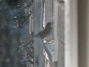 道南の野鳥だより 家を覗いているのが最初の写真です。 そして次に洗濯室の窓へ移動して中を覗き始めました。 それがこの写