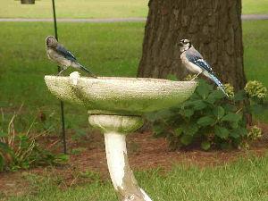 道南の野鳥だより 今日の鳥はブルージェイです。 スズメ目カラス科の鳥で和名アオカケス。 その和名のとおりカケスと同じく