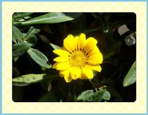 空いてる場所でのんびりしたい・・・・ 春のポカポカ陽気が戻ってきました・・・・  庭はノースポールがあちこちに賑やか・・・・  ガザニアが