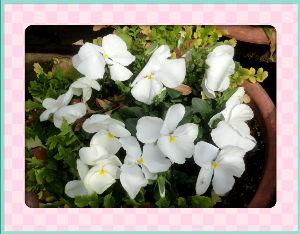 空いてる場所でのんびりしたい・・・・ 陽射しの弱い穏やかな日和・・・・  プランターの花が乾燥気味なので給水を・・・・  ビオラもパンジー