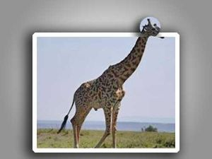 ケニヤでサファリ 草枕さん、アフリカ良かったようですね。私も、好きで3回一人旅で行ってきました。 デジブック4冊にもな