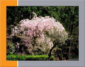 暇人の日記帳にしよう・・・・ 今日は気温も上がり五月の陽気に・・・  昨日も花見日和で神社まで花見に・・・  道中にも満開桜が目に