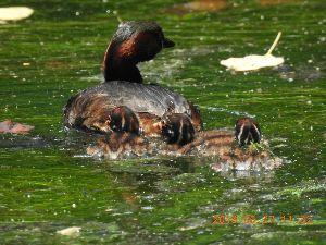 おじさん おばさん 大集合!!!!  昨日は又井の頭公園のカイツブリを見に行って来ましたよ、 写真を四枚続けて載せますね、一番下はオール