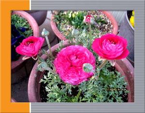 暇潰しが仕事に・・・・・・ 連日ポカポカ陽気で春の訪れを感じます・・・  庭の花も暖かな陽射しに益々元気に・・・  今日はシニア