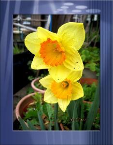 暇潰しが仕事に・・・・・・ 庭の花には恵みの雨が終日・・・・  出かける予定もない暇な一日に・・・  炬燵のお世話でのんびりコー