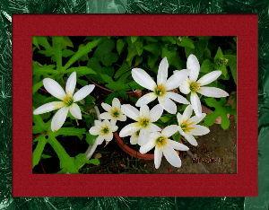 暇潰しが仕事に・・・・・・ 久しぶりに土砂降りの通リ雨で庭に水たまり・・・  庭の花には丁度良いほどの恵みの雨でしたね・・・・