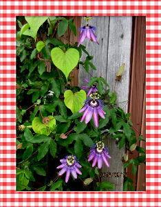 暇潰しが仕事に・・・・・・ 台風一過朝から澄み切った青空に・・・  心地よい風が庭を吹き抜け気分は最高・・・  庭の花も被害がな