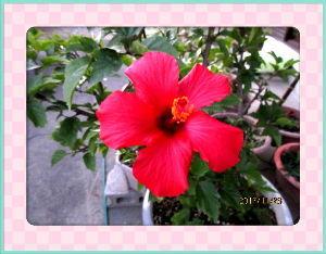 暇潰しが仕事に・・・・・・ 小春日和が連日続いて庭の花も元気いいね・・・  庭の金柑の木にヒヨの出入りが激しく騒々しいほど・・・